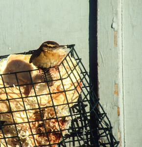 Carolina Wren Wayzata Hennepin County MN SLIDE SCAN BIRDS-14