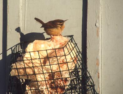 Carolina Wren Wayzata Hennepin County MN SLIDE SCAN BIRDS-34