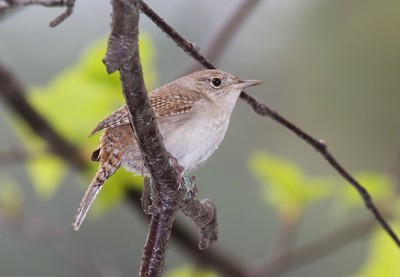 House Wren Park Point Duluth MN IMG_0020250
