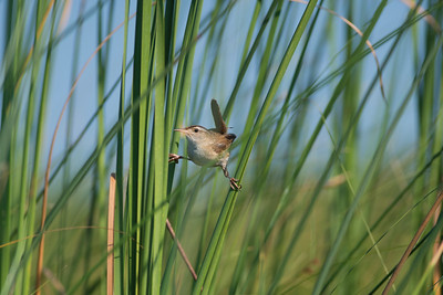 Marsh Wren Cowhorn Lake Itasca County MN DSC02587