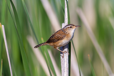 Marsh Wren St  Louis River Estuary Duluth MN -5950