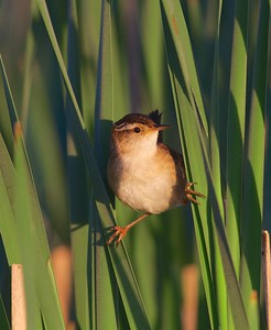 Marsh Wren Thief Lake WMA Marshall Co MN IMG_0816