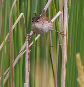 Marsh Wren Tobin-Kimmes Wetlands Gordon McQuarry Wetlands Douglas County WIIMG_0126