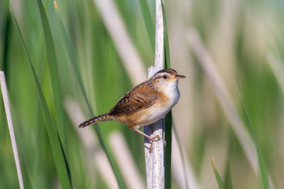 Marsh Wren St  Louis River Estuary Duluth MN -5953