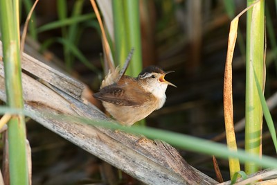 Marsh Wren Thief Lake WMA Marshall Co MN IMG_0801