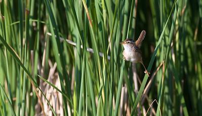 Marsh Wren Oak Hammock Marsh Manitoba IMG_0208