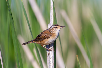 Marsh Wren St  Louis River Estuary Duluth MN -5952