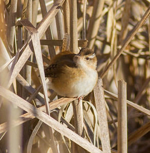 Marsh Wren Kimmes-Tobin Wetlands Douglas County WIIMG_7732