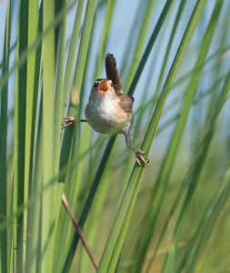 Marsh Wren Cowhorn Lake Itasca County MN DSC02581