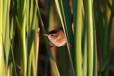 Marsh Wren Thief Lake WMA Marshall Co MN IMG_0827