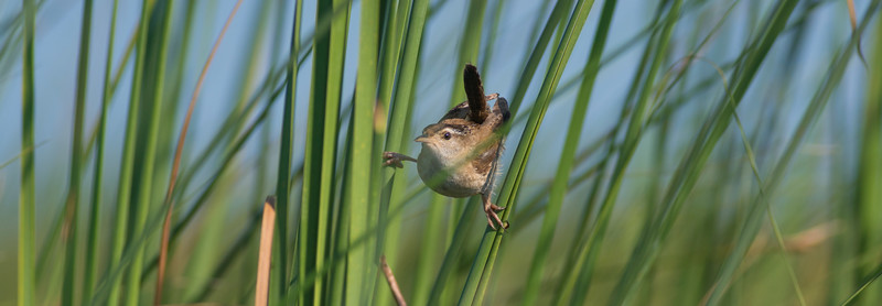 Marsh Wren Cowhorn Lake Itasca County MN DSC02574