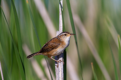 Marsh Wren St  Louis River Estuary Duluth MN -5956