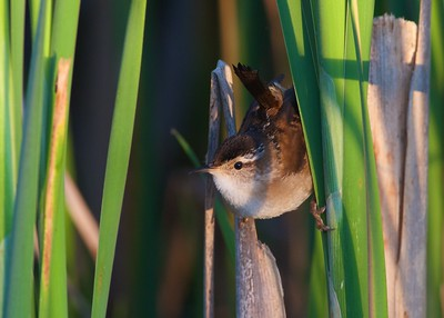 Marsh Wren Thief Lake WMA Marshall Co MN IMG_0798