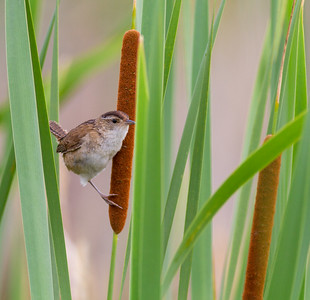 Marsh Wren Tobin-Kimmes Wetlands Gordon McQuarry Wetlands Douglas County WIIMG_0133