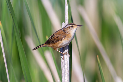 Marsh Wren St  Louis River Estuary Duluth MN -5951