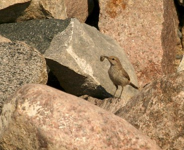 First nesting record of a Rock Wren in Minnesota. Two birds had been reported, but when I went I noticed a bird carrying food and repeatedly entering a crevice in the rock pile [Felton Prairie, Clay County, Minnesota]
