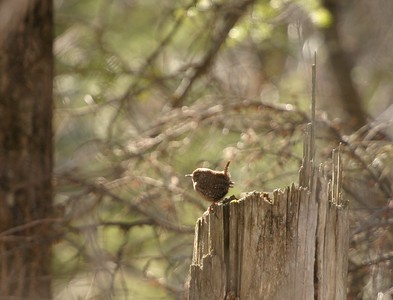 How can such a loud and long song come from such a tiny bird? The Winter Wren is an amazing songster [April; Jay Cooke State Park, Carlton County, Minnesota]