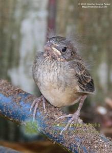 Fledgling on Hose
