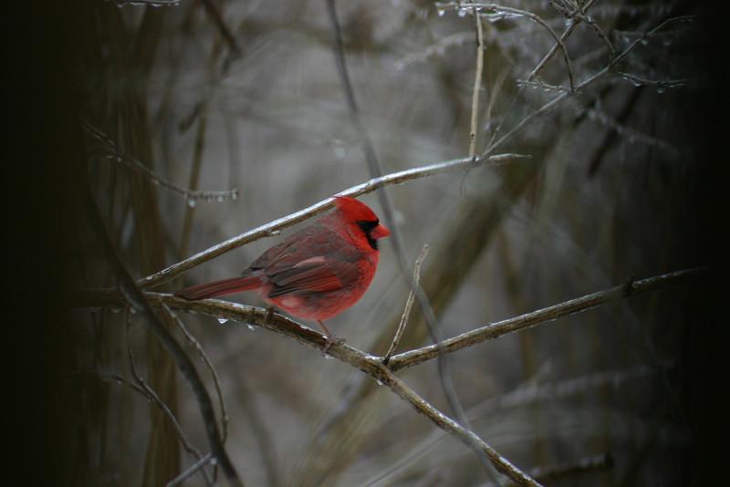 Northern Cardinal - Robbins Park, Upper Dublin, PA