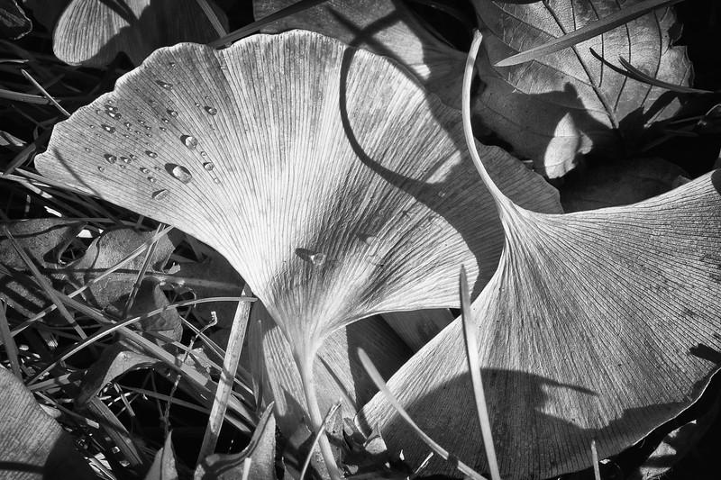 Ginkgo Leaves, Morton Arboretum
