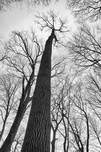 Oak, Morton Arboretum