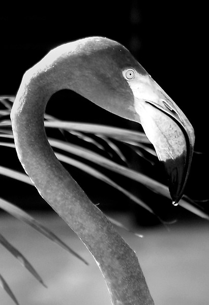 Pink Flamingo in Black and White