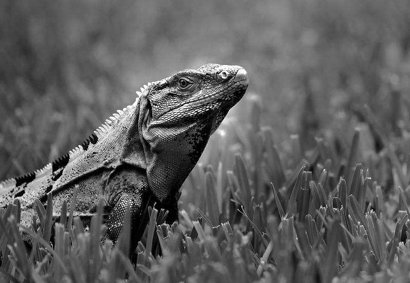 Iguana Lizard in Mexico