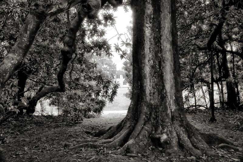 Large Magnolia Tree - Historic Washington State Park - Arkansas