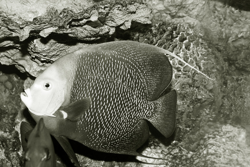 FRENCH ANGELFISH, POMACANTHUS PARU  3924_filtered ©  BW copy