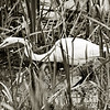 EGRET IN THE GRASS B&W