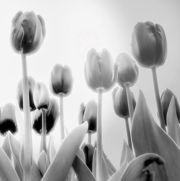 Black Satin Tulips