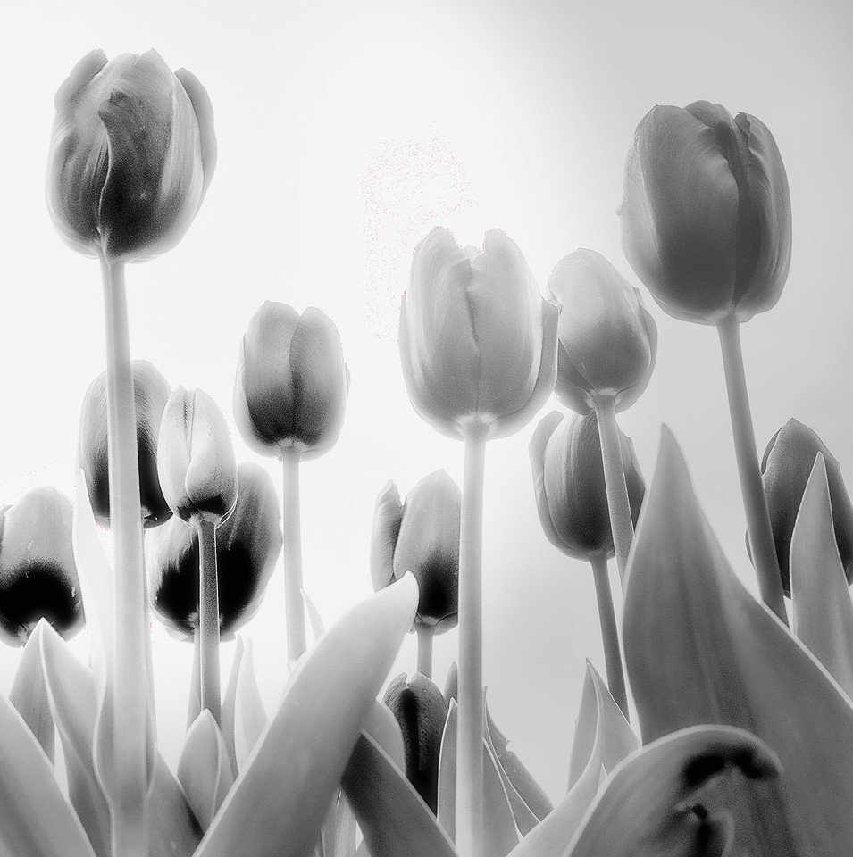 BLACK SATIN TULIPS