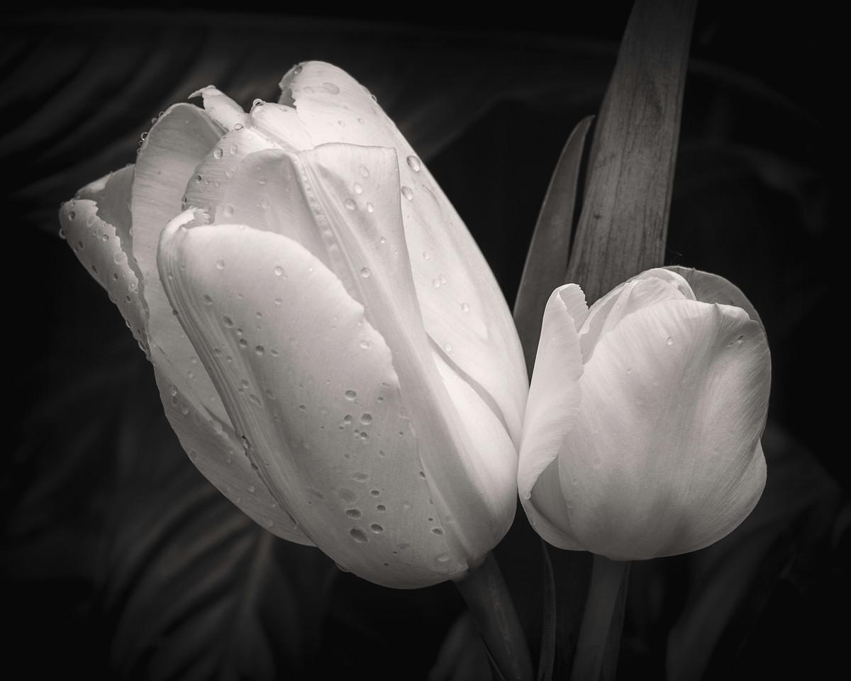 Tulip Alabaster