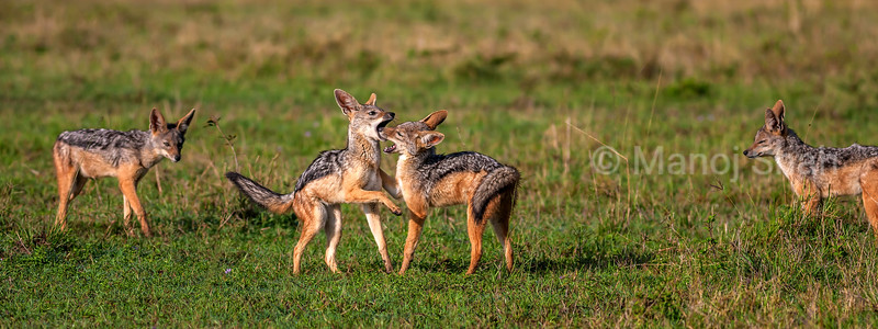 Black Backed Jackal youngsters play fighting in Masai Mara.