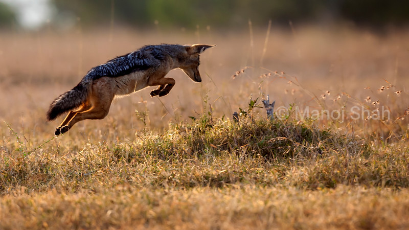 Black Backed Jackal pouncing on preyin Ol Pejeta, Laikipia