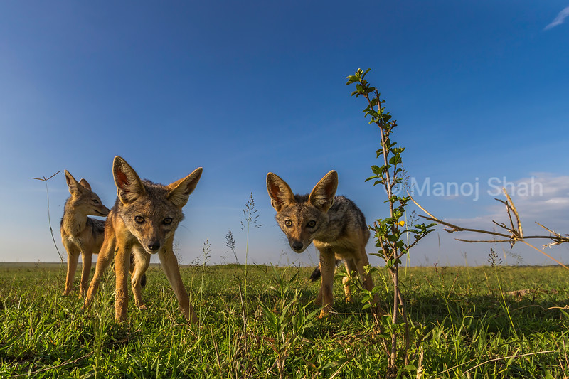 Black backed Jackal puppies being inquisitive in Masai Mara savannah.