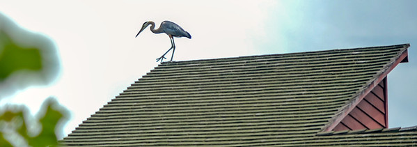 Red Mill, Blue Heron