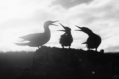 Fou des Galápagos