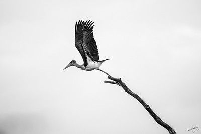 Marabout d'Afrique