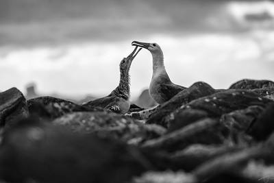 Albatros des Galápagos