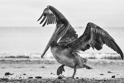 Pelican brun des Galápagos