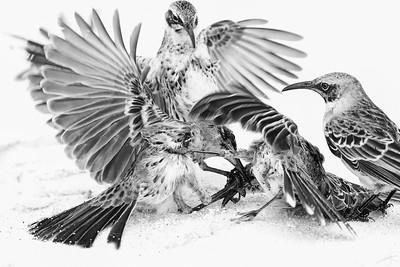 Oiseau moqueur des Galápagos