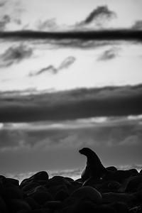 Otarie des Galápagos