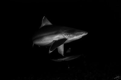 Requins à ailerons blancs du récif