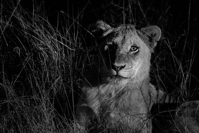 Lion, Sabi Sand Reserve, South Africa
