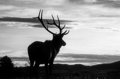 Bull Elk, Wyoming