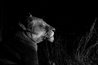 Lion in Spotlight, Sabi Sand Reserve, South Africa