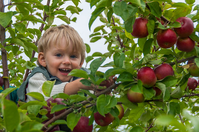 Apple picking at Willowbank uPick in the Annapolis Valley community Starrs Point