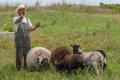 Shepherd Leroy d'Entremont of West Pubnico and his sheep dogs demonstrate sheep herding and shearing at the annual Acadian Festival in West Pubnico