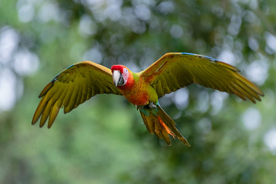 I just loved seeing this beautiful Great Green Macaw (Ara ambiguus) flying about in Costa Rica on a rare morning when the sun shone. Their colours are truly amazing like flying rainbows.
